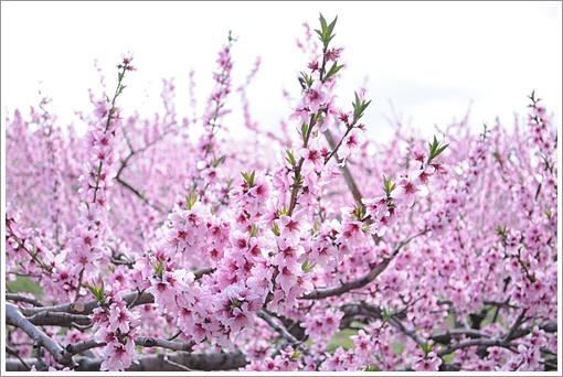 花桃の.JPG